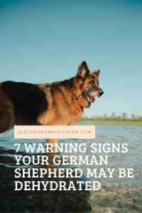 7 Warning Signs Your German Shepherd May Be Dehydrated