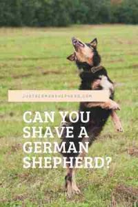 Can you shave a German Shepherd?