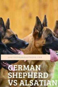 German Shepherd VS Alsatian