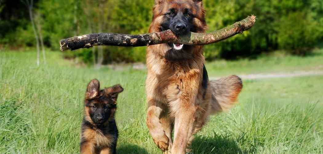 German Shepherd puppy development stages and ages – week by week guide
