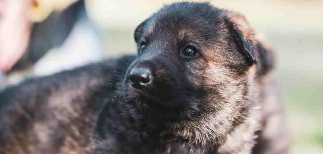 10 Top Tips for a Super Happy German Shepherd Puppy