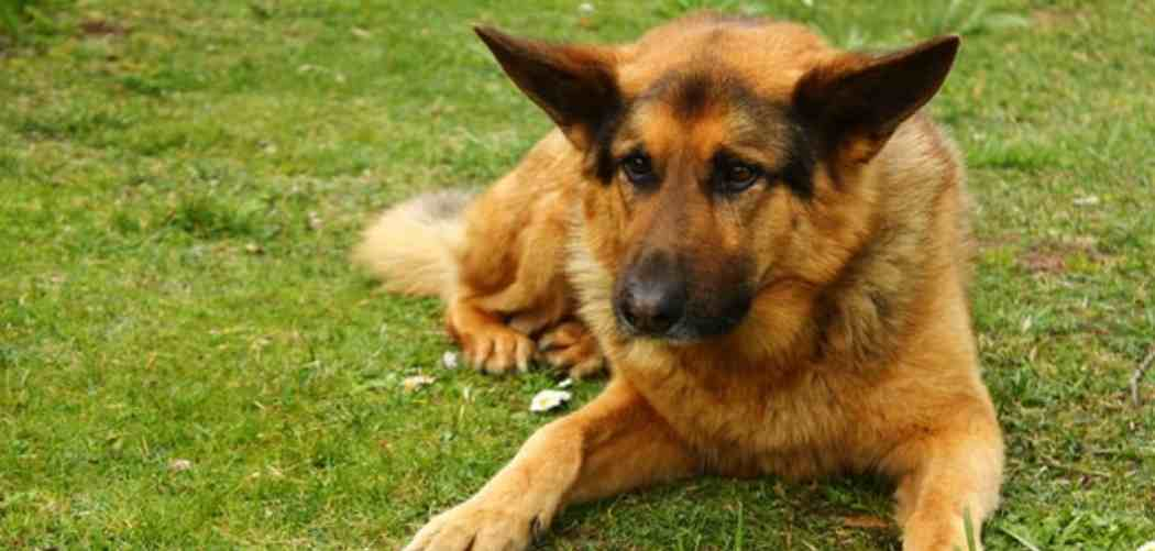 Hot spots In German Shepherds – Everything You Need To know