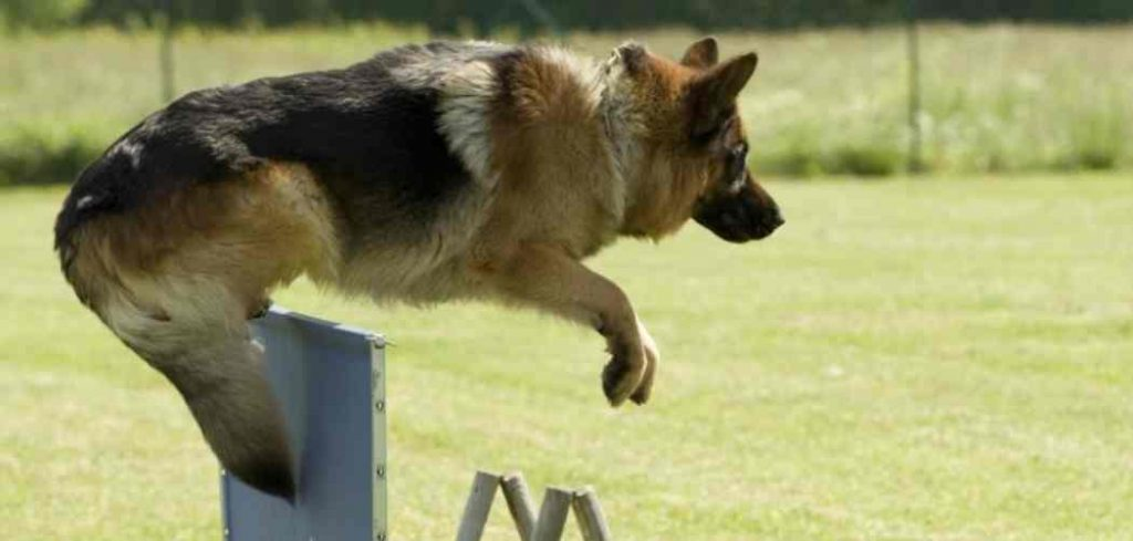 How high can a German Shepherd Jump