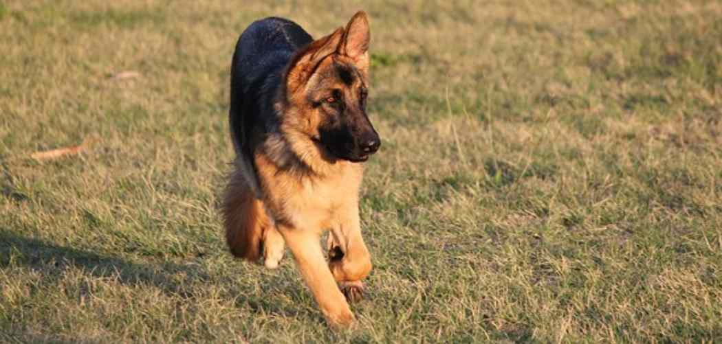 How much exercise does my German Shepherd Puppy need? (Hint: Less than you probably think!)
