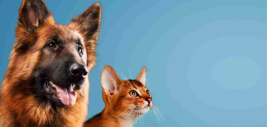 Are German Shepherds Good with Cat Featured