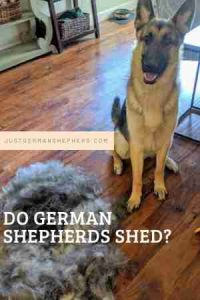 Do German Shepherd Shed
