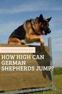 How High Can German Shepherds Jump?