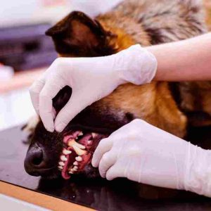 How long can a German Shepherds live? - Life expectancy of a German Shepherd dog