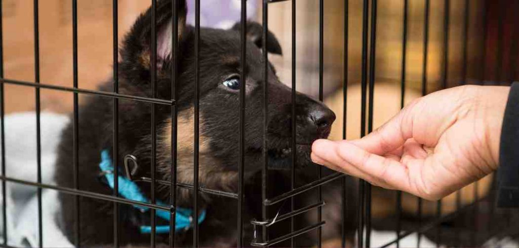 Crate Training A German Shepherd Puppy