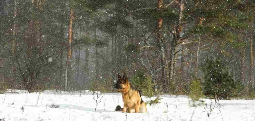 Do German Shepherds Get Cold Outside?